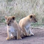 Lionceaux craquants