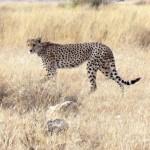 Un guépard à Amboseli